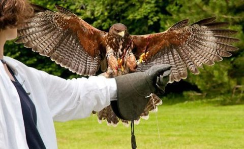 The Hawk Walk at Ireland's School of Falconry